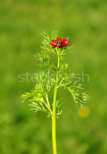 Pheasant's eye (Adonis flammea) Stock photo © rbiedermann