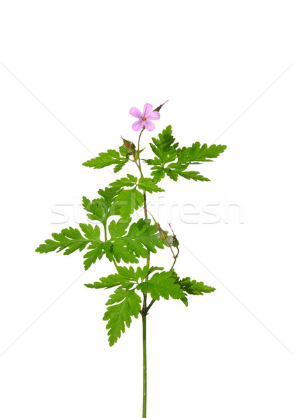 Herb Robert (Geranium robertianum) Stock photo © rbiedermann