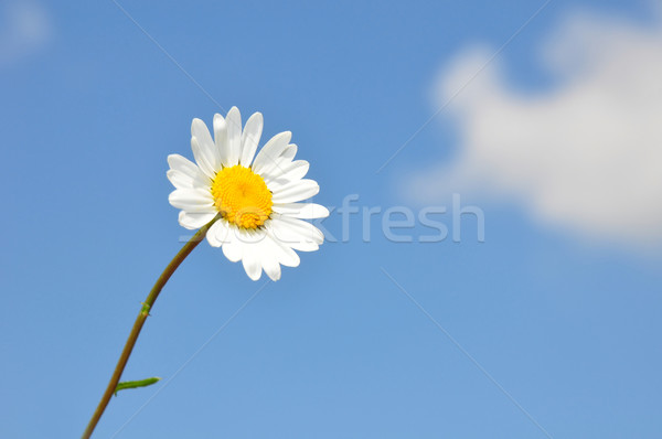 Oxeye daisy (Leucanthemum vulgare) Stock photo © rbiedermann