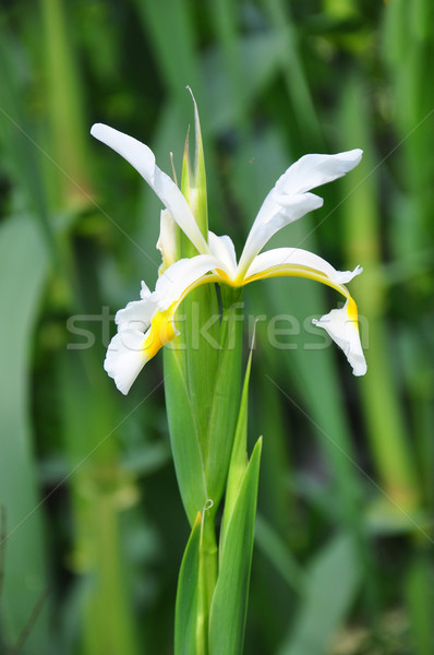 Oriental iris (Iris orientalis) Stock photo © rbiedermann