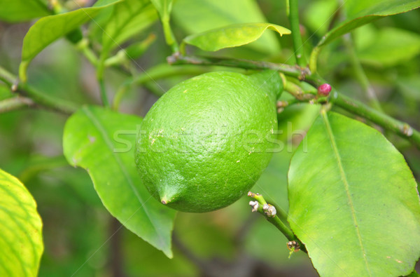Lemon (Citrus limon) Stock photo © rbiedermann