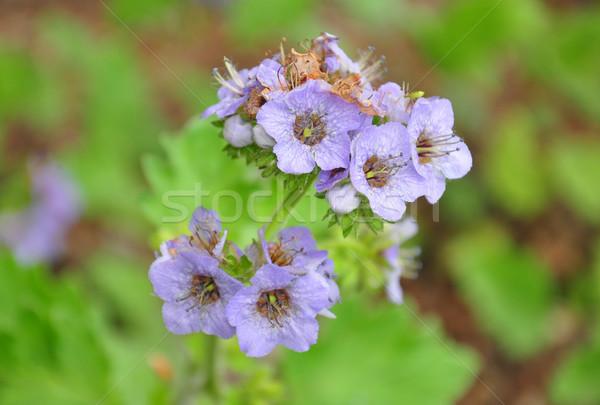 çiçek tıbbi doğa mavi mor Stok fotoğraf © rbiedermann