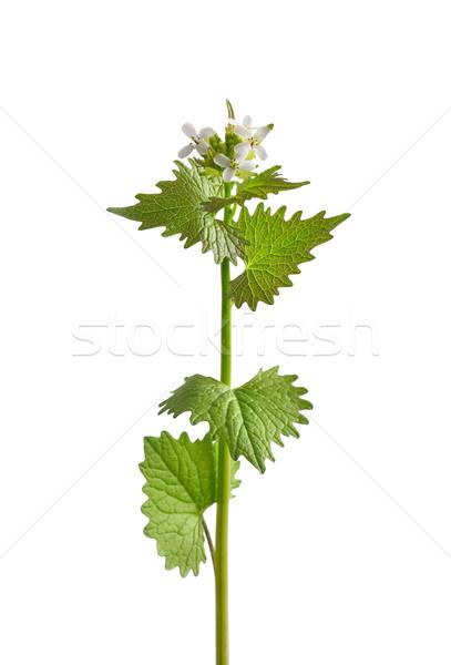 Sarımsak hardal tıbbi bitki ot Stok fotoğraf © rbiedermann