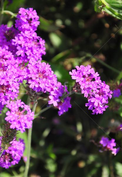 Snello natura giardino rosa viola erbe Foto d'archivio © rbiedermann