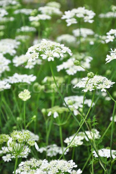 Fehér csipke virág orvosi Stock fotó © rbiedermann