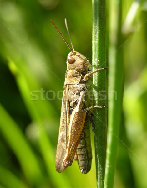 Sauterelle herbe animaux bug recherche antenne Photo stock © rbiedermann