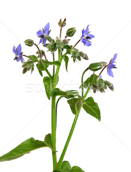 Flores jardim medicina folhas planta tempero Foto stock © rbiedermann