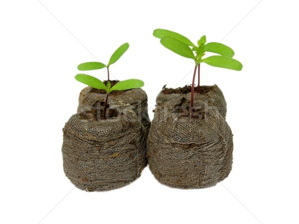 Seedlings in a peat pot Stock photo © rbiedermann