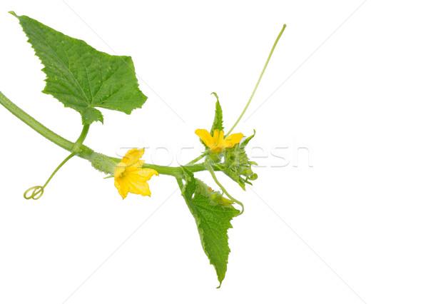 Cucumber flower Stock photo © rbiedermann