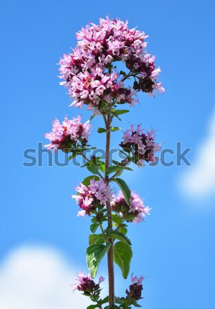 Meadow sage (Salvia pratensis) Stock photo © rbiedermann