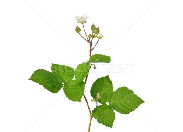 Blackberry with flower Stock photo © rbiedermann