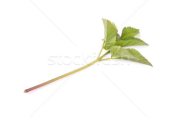 Boden Holunder grünen Blätter Salat Kraut Stock foto © rbiedermann