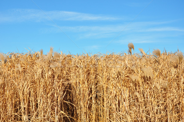 Giant grass (Miscanthus) Stock photo © rbiedermann
