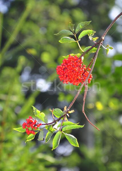 Red elderberry (Sambucus racemosa) Stock photo © rbiedermann