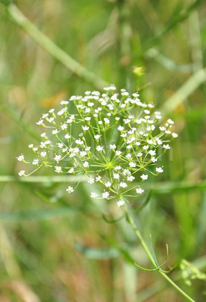 Sickleweed (Falcaria vulgaris) Stock photo © rbiedermann
