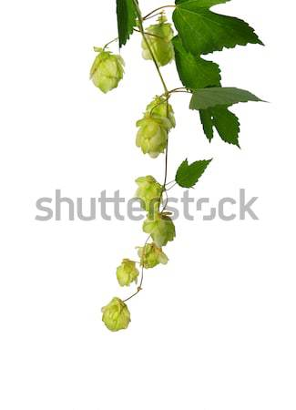 Hop (Humulus lupulus) Stock photo © rbiedermann