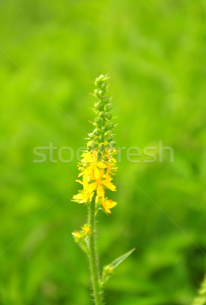 Common agrimony (Agrimonia eupatoria) Stock photo © rbiedermann