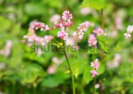 Buckwheat (Fagopyrum esculentum) Stock photo © rbiedermann