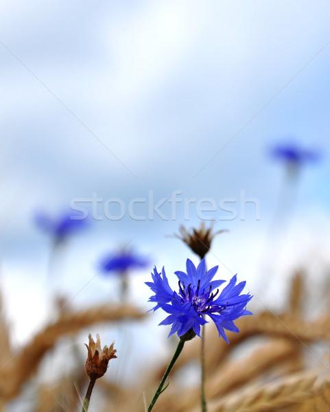 Flor naturaleza campo maíz planta botánica Foto stock © rbiedermann