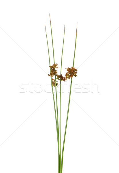 Prisa hierba naturaleza planta blanco suave Foto stock © rbiedermann