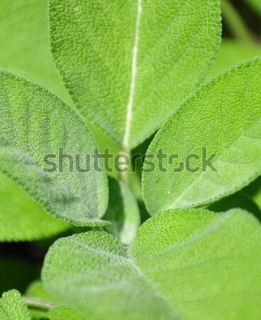 Sage (Salvia officinalis) Stock photo © rbiedermann
