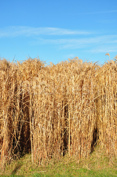 Stock photo: Giant grass (Miscanthus)