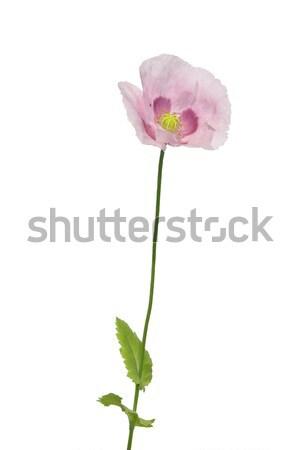Garden poppy (Papaver) Stock photo © rbiedermann