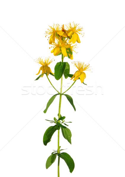 St Johns wort (Hypericum perforatum) Stock photo © rbiedermann