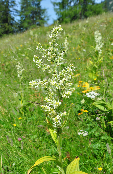 Blanco falso álbum flor médicos naturaleza Foto stock © rbiedermann