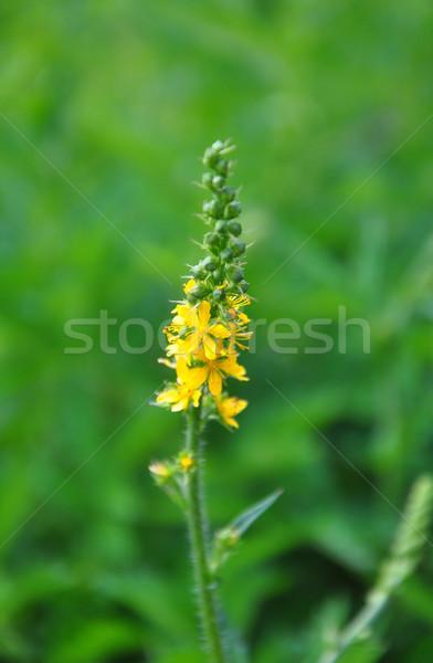 Common agrimony (Agrimonia eupatoria) Stock photo © rbiedermann
