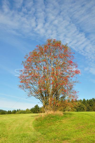 Rowan (Sorbus aucuparia) Stock photo © rbiedermann