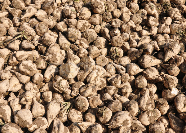 Sugar beets Stock photo © rbiedermann