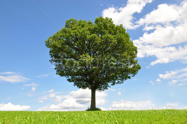 Solitary tree Stock photo © rbiedermann