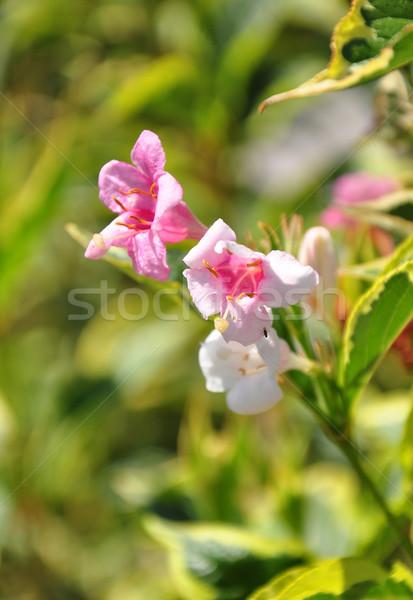 Flórida flor natureza jardim branco arbusto Foto stock © rbiedermann