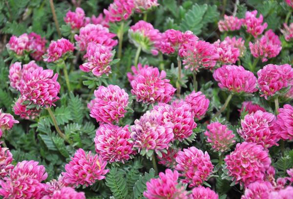 Montagne rénale Montana fleur médicaux nature Photo stock © rbiedermann