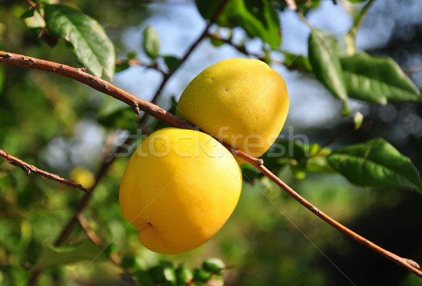 Chinese quince fruits (Chaenomeles speciosa) Stock photo © rbiedermann