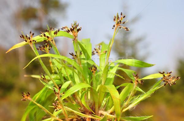 Poilue herbe nature usine brun flore Photo stock © rbiedermann
