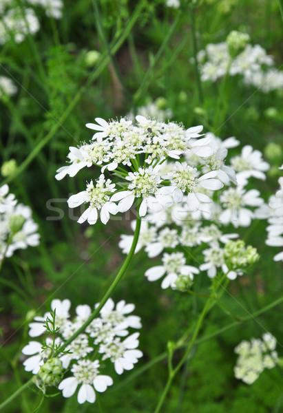 белый кружево цветок медицинской природы Сток-фото © rbiedermann