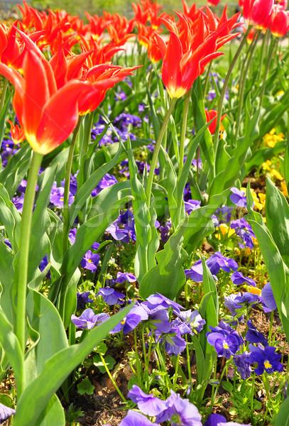 Virágágy virág tavasz kert tulipán növények Stock fotó © rbiedermann