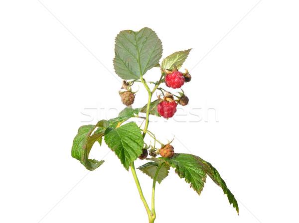 Raspberry (Rubus idaeus) Stock photo © rbiedermann