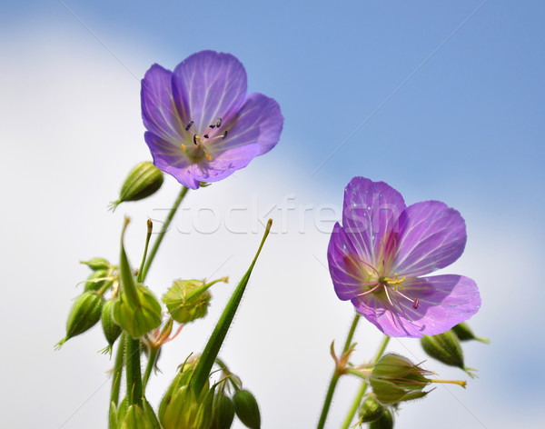 Cranesbill (Geranium) Stock photo © rbiedermann