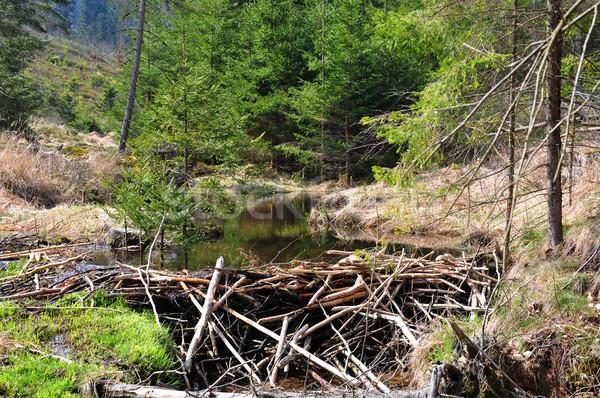 ストックフォト: ビーバー · ツリー · 森林 · 谷 · 野生動物