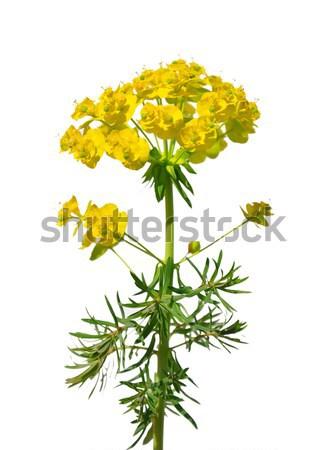 Ciprés flor plantas amarillo decoración flor Foto stock © rbiedermann