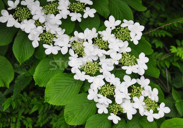 Japanisch Schneeball Blume Baum Natur weiß Stock foto © rbiedermann