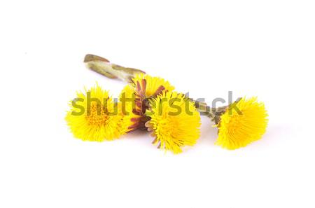 Flowers of coltsfoot Stock photo © rbiedermann