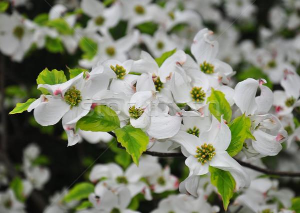 цветения Флорида цветок дерево природы белый Сток-фото © rbiedermann