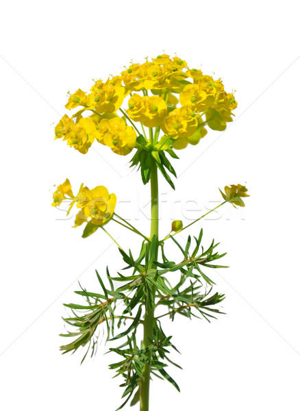 Cypress spurge (Euphorbia cyparissias) Stock photo © rbiedermann