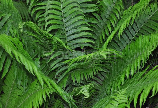 Devekuşu eğreltiotu doğa yeşil ot Stok fotoğraf © rbiedermann