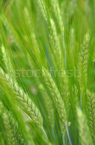 Yeşil kafa bitki tahıl tahıl Stok fotoğraf © rbiedermann