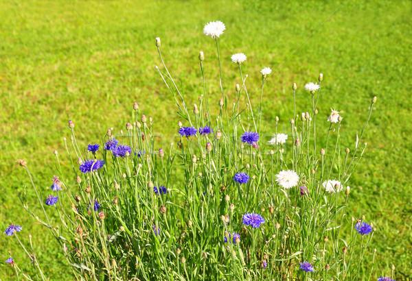 саду синий завода трава флора Сток-фото © rbiedermann